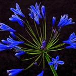 Flor Azul.