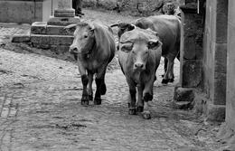 Vacas do Barroso