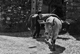Mulher tocando as vacas