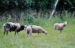 Ovelhas no lameiro