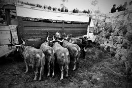 Penteador de vacas