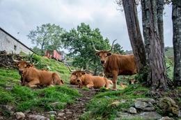 Vacas barrosãs em descanso