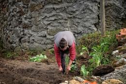 Plantando couves