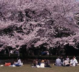 Apreciando as cerejeiras em flor