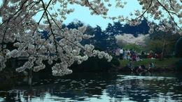 Sob o signo da sakura