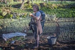 Plantando o cebolo